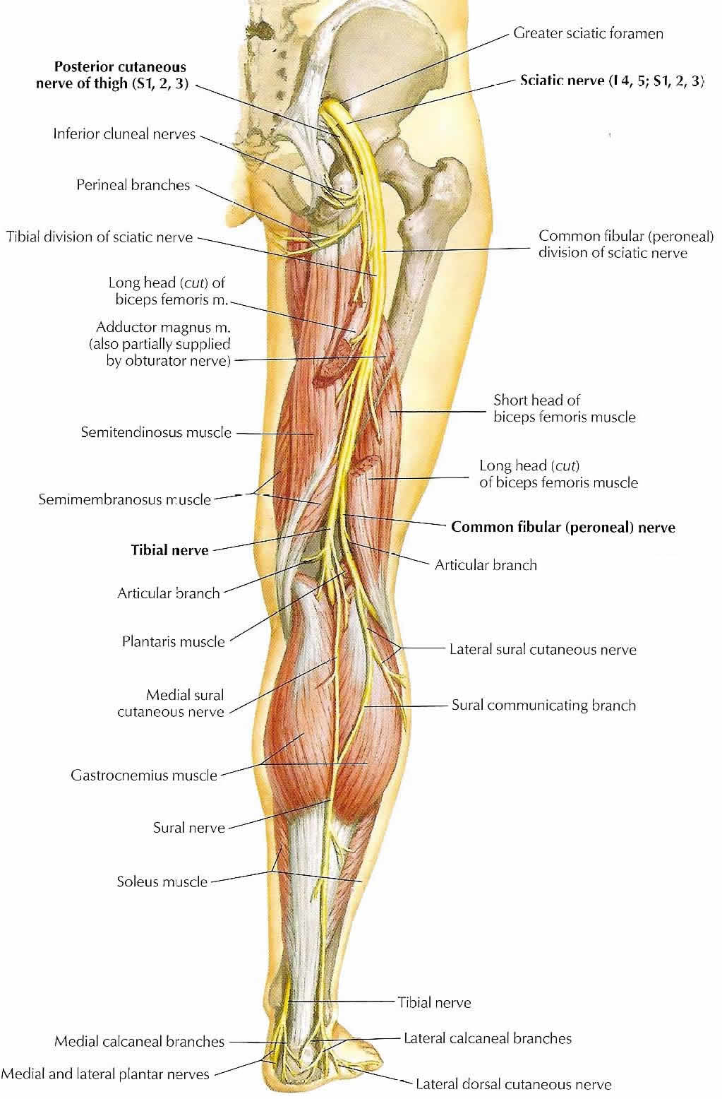 Proximity of the Sciatic Nerve in Relation to the Posterior Approach ...